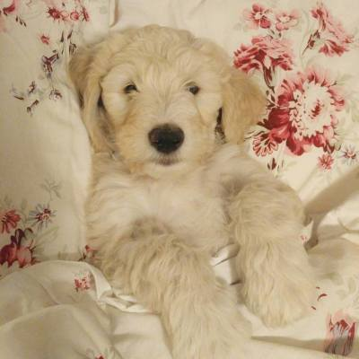 Golden doodle puppies for sale  Parti, Abstract and Solids